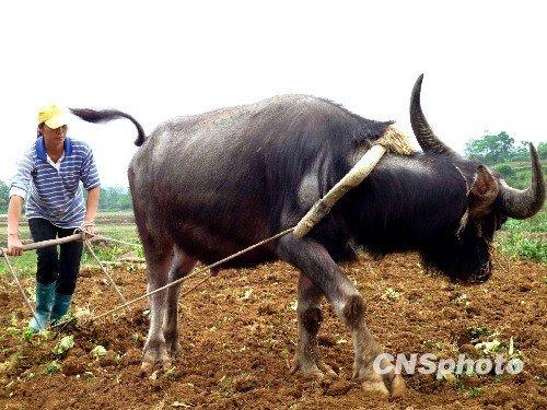 图:广西旱区降雨 农民抢农时