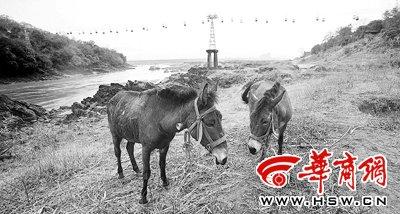 3月29日,在云南省澜沧江勐泐渡口,一场雨过后,两头骡子在江滩吃草,远处索道铁塔下的塔基完全暴露在水面上