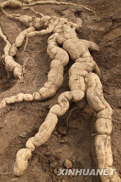 组图:河南安阳挖出巨型栝楼根 外形酷似鳄鱼
