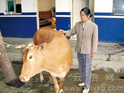 小牛被卖 母牛夜行3公里寻儿(图)
