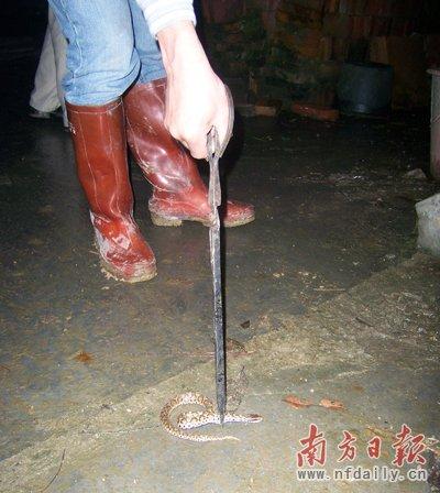 广州增城现蛇群迁徙 专家称不一定是地震前兆