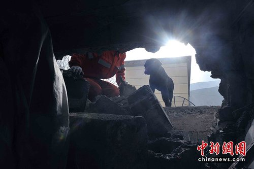 图:搜救犬黑贝玉树地震废墟上的一个清晨