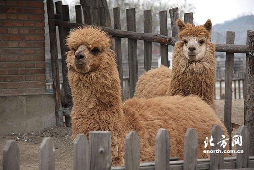 它就是在我国动物园中罕见的珍稀动物——羊驼.