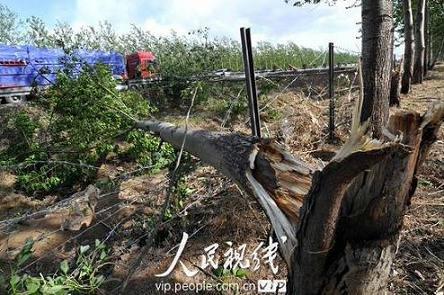 河北邢台现大风沙尘暴 数百颗树拦腰折断(图)