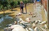 湖北红星村万头生猪被淹死 数十万斤乌龟脱逃