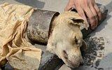 流浪狗脖子被套2斤重钢圈