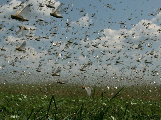 数百万蝗虫侵袭俄罗斯南部 耕地近乎被吃光(图)