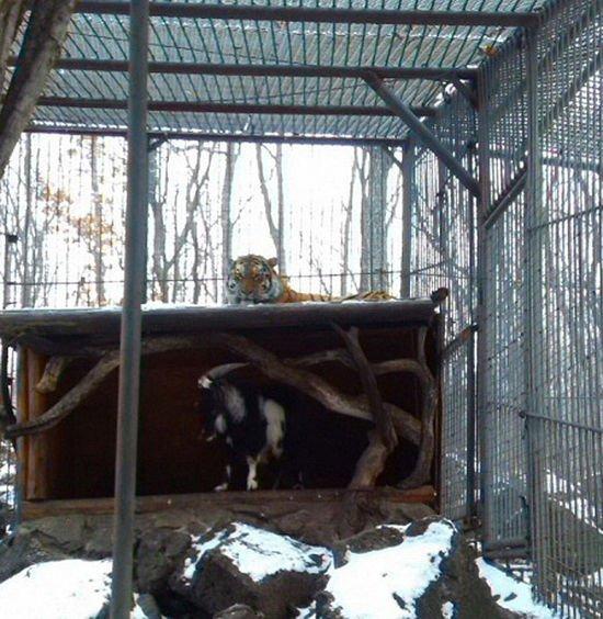 俄动物园勇敢山羊与老虎成亲密好友