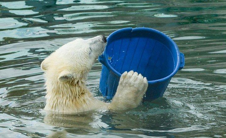 莫斯科动物园北极熊端桶喝水