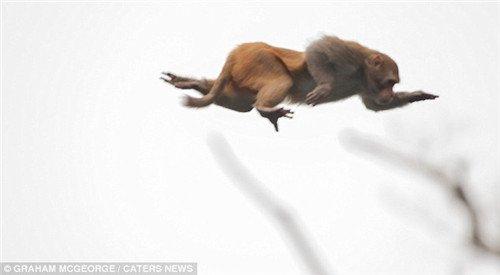 猴子从树上跳跃而下,试图跳到尽量远的河流中。