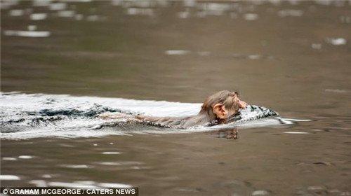 猴子在河流中游泳,前往对岸。