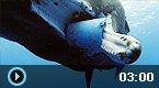 鲸鱼吞食塑料桶被卡住