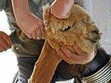 美国民众捐羊驼毛吸墨西哥湾油污