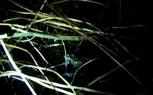 """美国新品种""""大西洋豹蛙"""" 叫声奇特似打嗝(图)"""