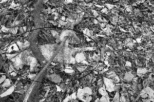 钢丝绳下套捕野猪