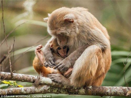 小猴子依偎在母猴的怀里。