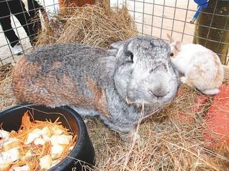 台湾巨兔外型可爱 身长有望达1.2米(组图)