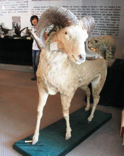 动物标本:青藏高原上的大头羊