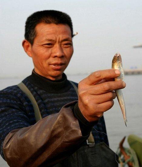长江刀鱼遭过度捕捞及生态恶化10年后或绝迹