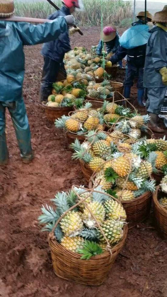 广东菠萝暴跌创20年新低 还有10万亩待售
