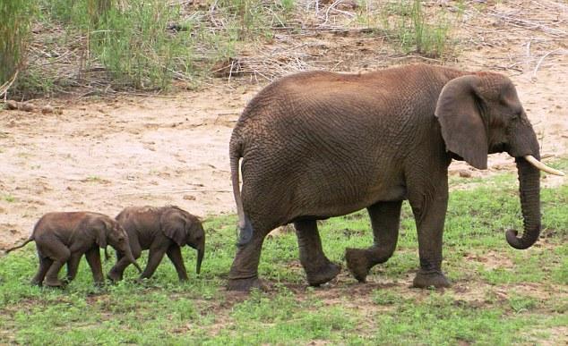 南非蓬戈拉野生动物保护区,可爱的双胞胎小象和它们的妈妈在一起.