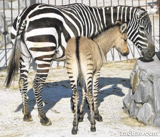 """欧洲一动物园迎""""斑驴""""宝宝 头像驴子腿像斑马"""
