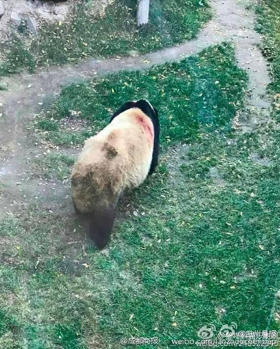 兰州动物园虐待熊猫?国家林业局:正调查了解