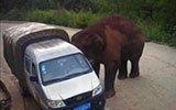 云南数辆车遭大象袭击 被撞翻公路桥下