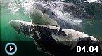大白鲨撕咬鲸鱼惊悚瞬间