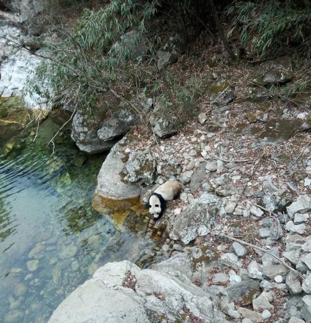 陕西村民拍到野生大熊猫河边喝水画面(图)