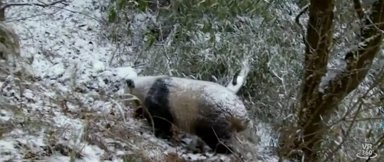 《熊猫回家》剧照。