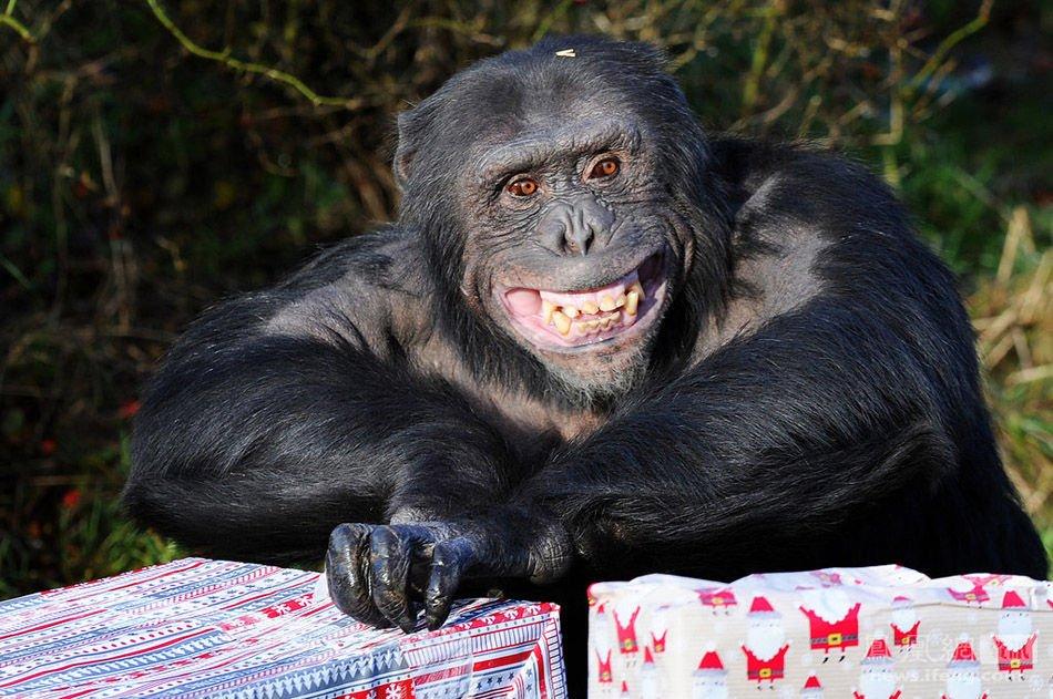 英动物园迎圣诞 黑猩猩拆礼物有模有样