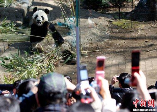 中国赴日大熊猫地震后首次露面吸引游客不断惊呼
