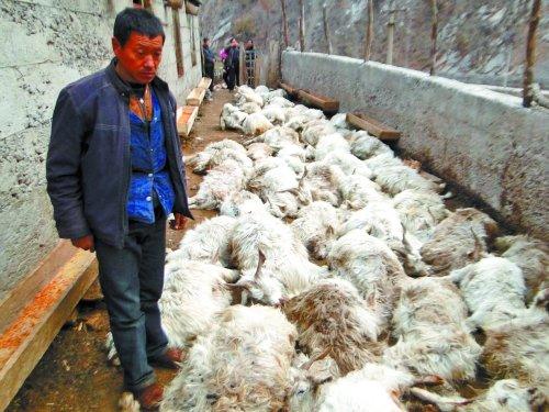 河南济源农户羊群遭金钱豹袭击 55只被挤死(图)