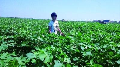 朱夷在棉花地里除杂枝。 记者杨静雅摄