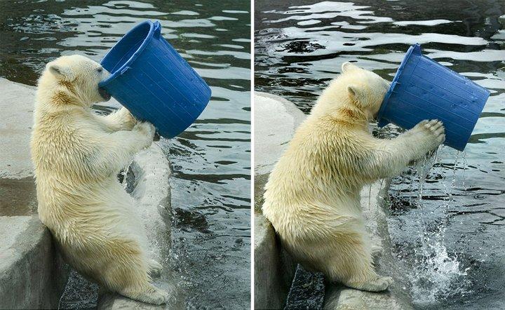 莫斯科动物园北极熊端桶喝水 憨态十足(图)