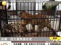 视频:大胆小偷偷盗东北虎 低价卖给马戏团