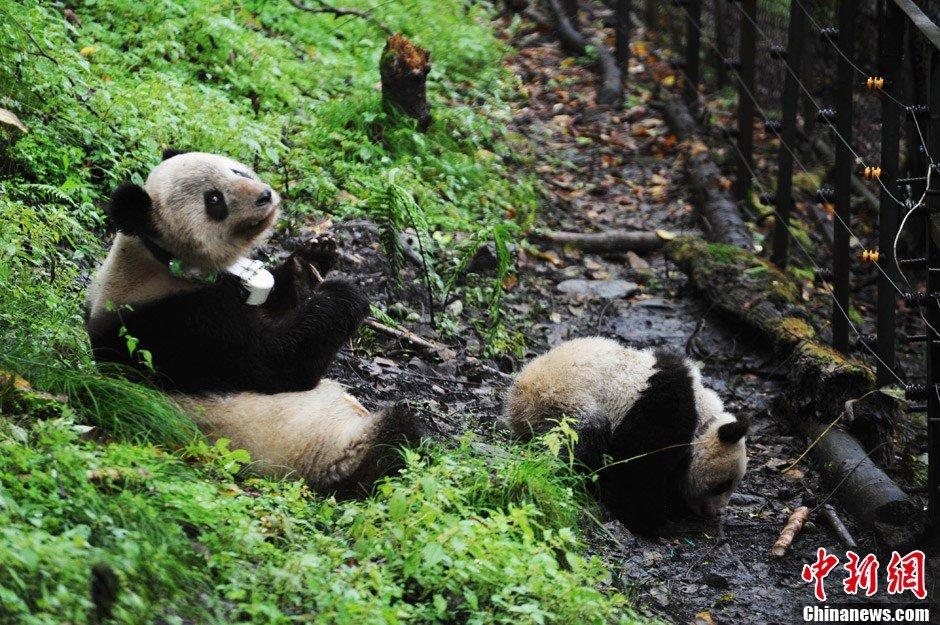 """高清:卧龙圈养大熊猫野化培训迎来""""新生"""""""