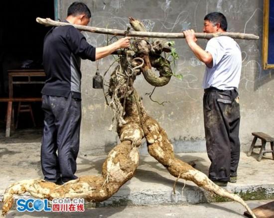"""四川村民挖出人形""""奔跑葛根"""" 重达250斤(图)"""