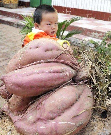 """河北一农民收获""""土豪""""红薯 重达36公斤(图)"""