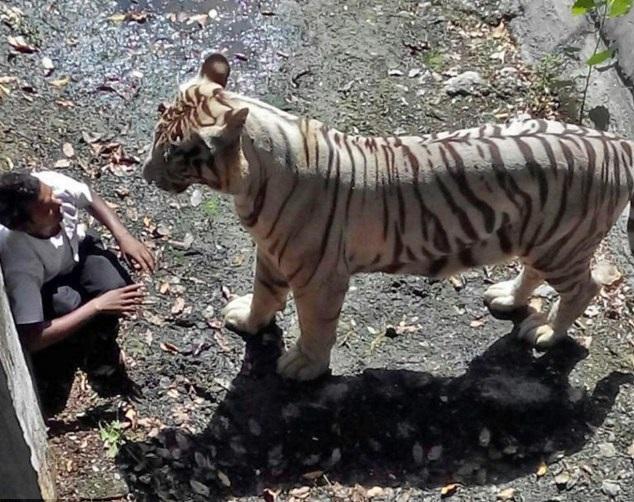 印度男子误入老虎圈 被当场咬死