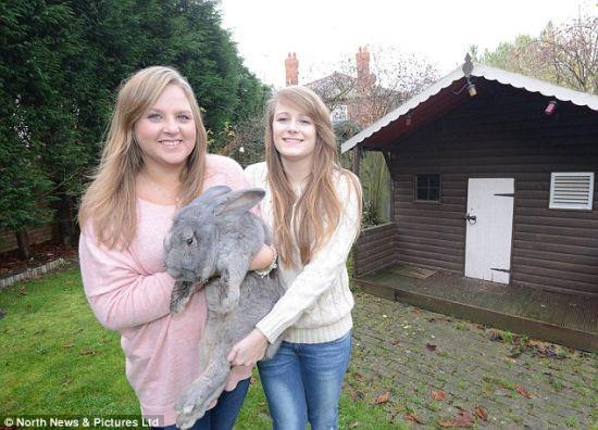 英国宠物兔重6公斤身长近1米 身材超宠物狗(图)