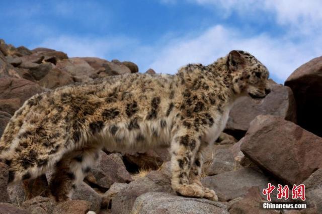 组图:西藏罕见雪豹袭击羊圈被抓 村民放归自然