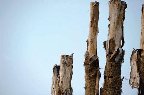 合肥引进98棵越南古树全部死亡 每棵价值40万