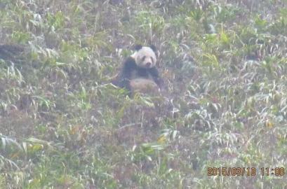 雅安牛背山发现野生大熊猫 网友点赞:萌翻了