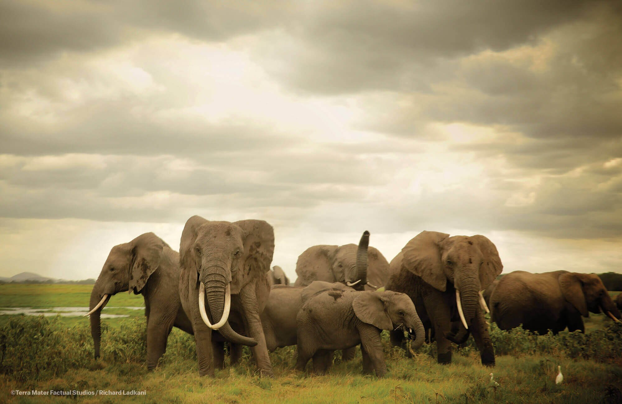 成群活动的大象。