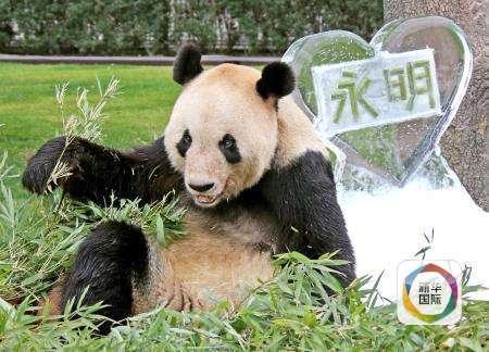 日本诞生一只自然交配熊猫 爸爸相当于人类72岁高龄