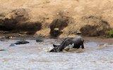 肯尼亚角马过河遭鳄鱼攻击