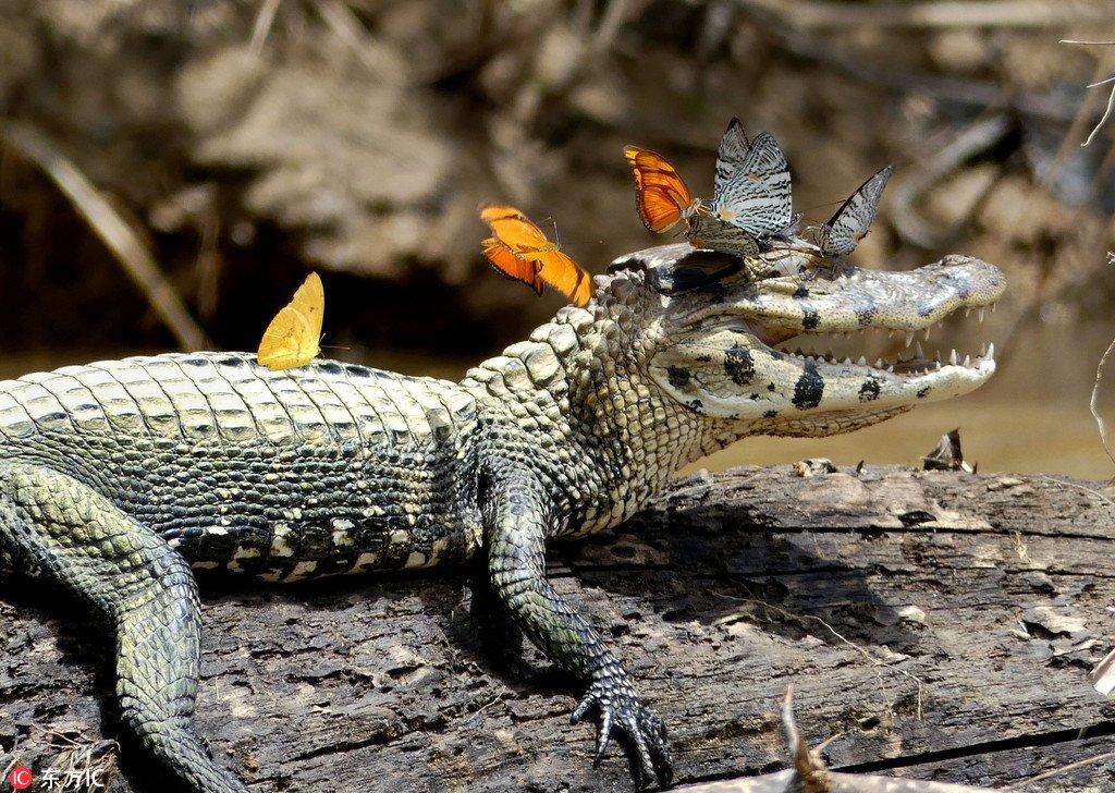 """鳄鱼被花蝴蝶包围 咧嘴""""大笑"""" - 海阔山遥 - ."""