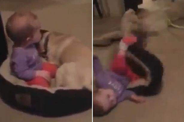 女婴抢占狗窝遭汪星人夺回视频走红网络。